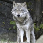Tornato il lupo in Umbria, ora si nutre di cinghiali