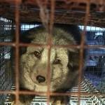ACTION! La Finlandia vieti gli animali da pelliccia