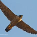 Il monitoraggio del falco pellegrino ai Castelli Romani