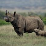 Solo 20 mila rinoceronti in natura.  Fundraising per salvarli