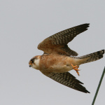 Il lungo volo di Apollo, falco cuculo seguito via web