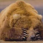 Perché gli orsi vanno in letargo?