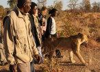 walking lions leoni