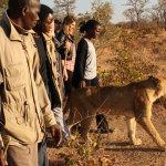 Luci ed ombre della 'passeggiata con i leoni'
