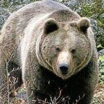 Orsi in Trentino, la Lega chiede l'allontanamento di M4