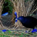 Webcam su un nido di uccello giardiniere
