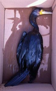 cormorano morto
