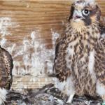 Webcam su un nido di falchi pellegrini a Nyc