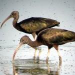Online 10 anni di censimenti di uccelli acquatici svernanti