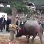 ACTION! Firma e diffondi per i tori torturati in Cina