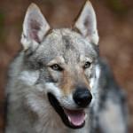 In Europa sempre più orsi, lupi, linci e ghiottoni