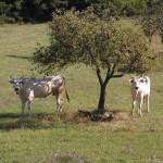 """ACTION! Petizione per salvare le """"Vacche sacre"""" della 'ndrangheta"""