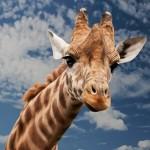 Sono rimaste solo 90 mila giraffe in natura