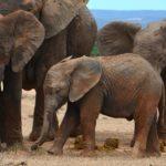 ACTION! Firma per gli elefanti, ne uccidono uno ogni 15 minuti