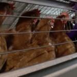 Più di 40 milioni le galline allevate in gabbia in Italia