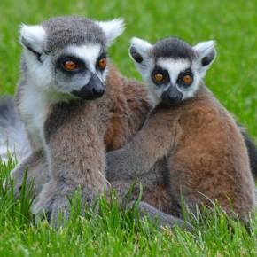Animali salvi i lemuri del madagascar grazie all 39 italia - Gli animali della foresta pluviale di daintree ...