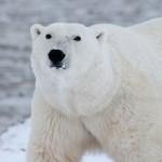 Wwf, a rischio leopardi delle nevi, orsi bianchi e stambecchi