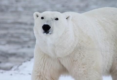Wwf a rischio leopardi delle nevi orsi bianchi e stambecchi