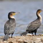 ACTION! Scriviamo per salvare i cormorani della Sardegna
