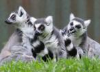 Lemur lemuri lemure