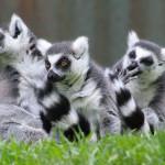 Quando i lemuri fanno la pace