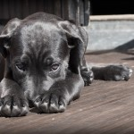 Stop ai tagli d'orecchie anche per mastini e cani corsi