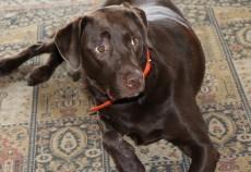 cane cioccolata