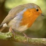 Birdsid, la guida online per identificare gli uccelli