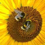 #Efsa4Bees, un sito per la salute delle api