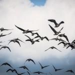 Uccelli migratori, 25 mln vittime nel Mediterraneo