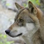 I falsi miti sul lupo da sfatare