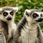 I lemuri anello mancante dell'evoluzione