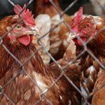 Ancora in gabbia oltre il 60% delle galline allevate in Italia