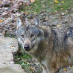 ACTION! #SosLupo. Fermiamo la caccia al lupo. Urgente