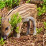Danni da fauna in agricoltura: i cacciatori non servono