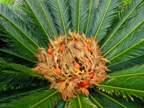 Animali la cycas una pianta tossica potenzialmente for Pianta cycas
