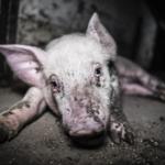 L'inferno dei maiali, video choc della Lav #endpigpain