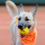 """""""Ball dogs"""", i cani raccattapalle che promuovono le adozioni"""