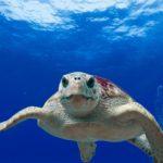 Plastica nel 58,2% delle tartarughe Caretta caretta