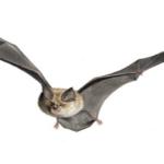 Cosa fare se si trova un pipistrello