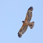 Ritrovato Lillo, l'Aquila del Bonelli smarrita