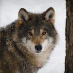 Regione Veneto, una legge per uccidere i lupi. Protestiamo