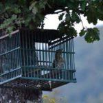 Scoperto un allevamento di uccelli da richiamo dopati