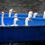 Ad Amburgo i cigni traslocano in barca