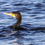 I cormorani di Orbetello a rischio caccia