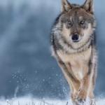 Torna il lupo in Italia, i dati Ispra