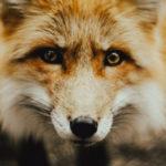 ACTION! Firma contro la caccia alla volpe in tana