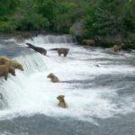 Webcam sugli orsi bruni che pescano sulle Brooks Falls (Alaska)