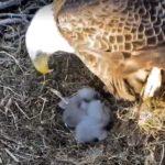 Webcam su un nido di aquile calve nel New Jersey