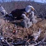 Webcam su un nido di aquile calve ad Hanover (Pa, Usa)